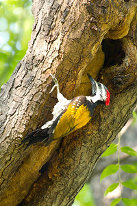 Black-rumped Flameback Woodpecker, Delhi