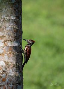 Black-rumped Flameback Woodpecker, Hikkaduwa