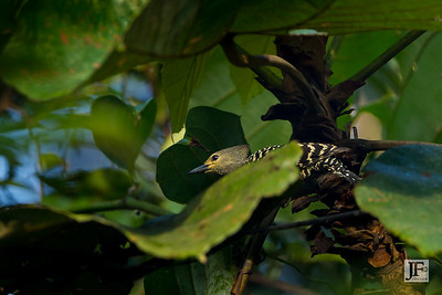 Buff-rumped Woodpecker, Panti Forest