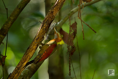 Checker-throated Woodpecker, Panti Forest
