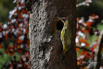 Green Woodpecker, Bournemouth