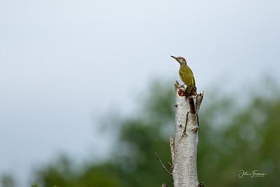 Green Woodpecker, Chippenham