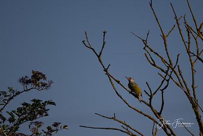 Green Woodpecker, Suffolk