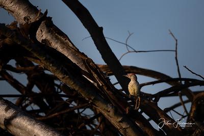 Green Woodpecker, Chippenham Fen