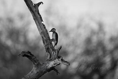 Nubian Woodpecker, Selous
