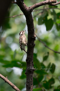 Gray-capped (Pigmy) Woodpecker