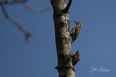Sunda Pygmy Woodpecker, Pulau Ubin