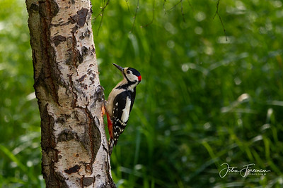 Greater Spotted Woodpecker, Northamptonshire