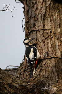Greater Spotted Woodpecker, Stour Valley