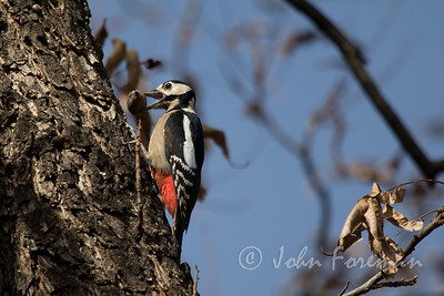 Great Spotted Woodpecker, Morocco