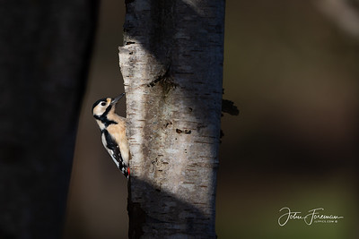 Great Spotted Woodpecker, Stanpit Marshes