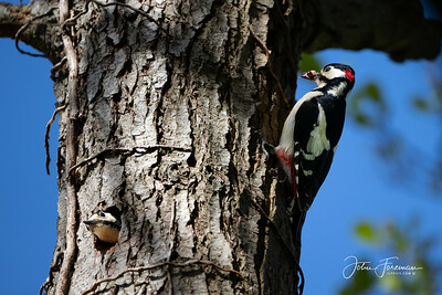Greater Spotted Woodpeckers, Stour Valley