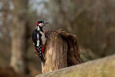 Great Spotted Woodpecker, New Forest