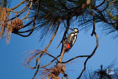 Greater Spotted Woodpecker, Gran Canaria