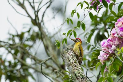 Streak-throated Woodpecker, Pulau Ubin