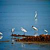 Wood Stork & Egrets