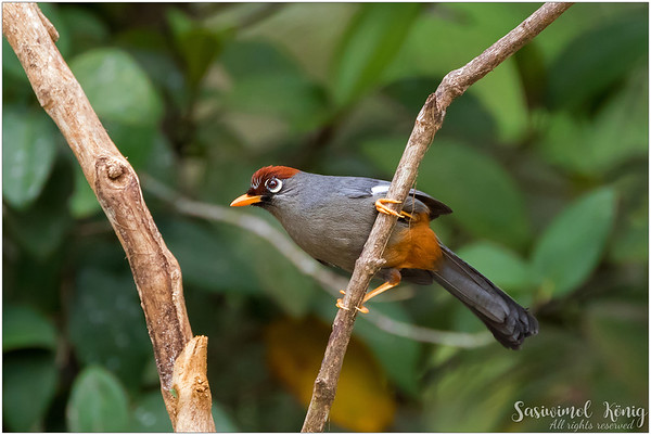 Chestnut Capped Laughingthrush with orange rump
