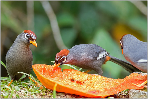 Chestnut Capped Laughingthrush, wants something else?