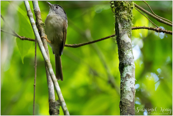 Mountain Fulvetta, gave me just one chance to capture.. and when I wanted to re-compose, it flew away!