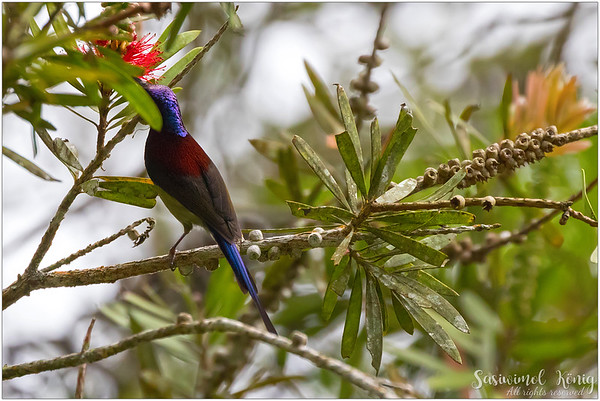 Male Black Throated Sunbird with such a pretty metallic violet-purple nape and crown