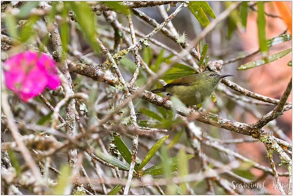 Female Black Throated Sunbird