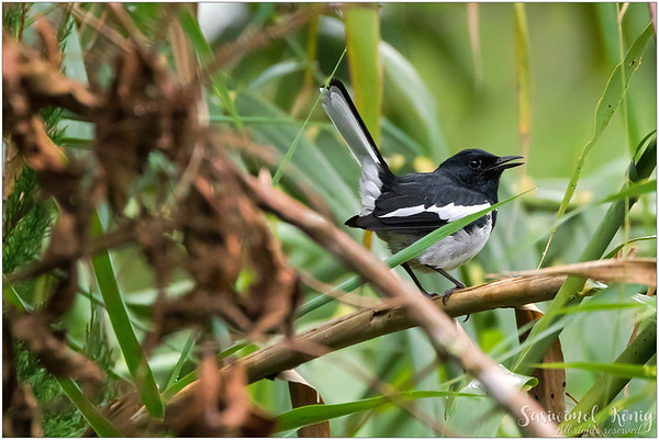 Oriental Magpie Robin, is everywhere