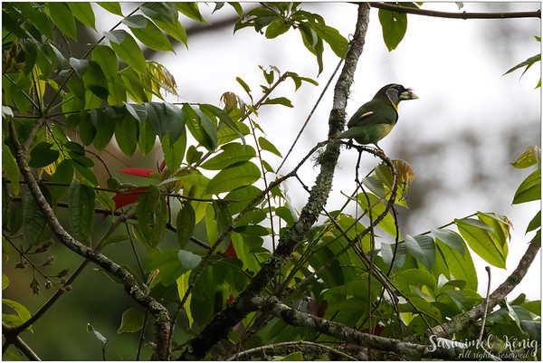 Fire Tufted Barbet, from afar