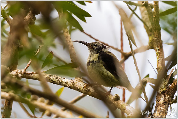Black Throated Sunbird looking very puffy on bottlebrush tree