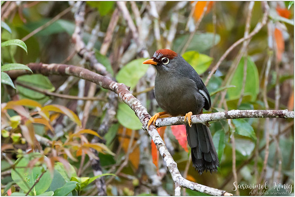 Chestnut Capped Laughingthrush with slightly wet tail
