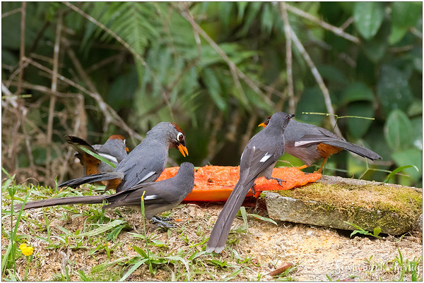 Chestnut Capped Laughingthrush sharing a ripe papaya