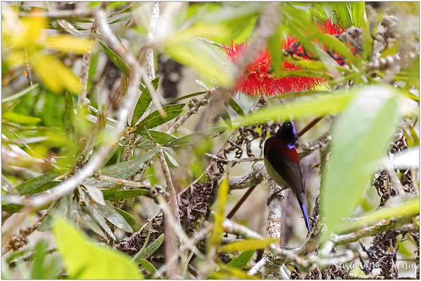 Black Throated Sunbird feeding on red bottlebrush flower