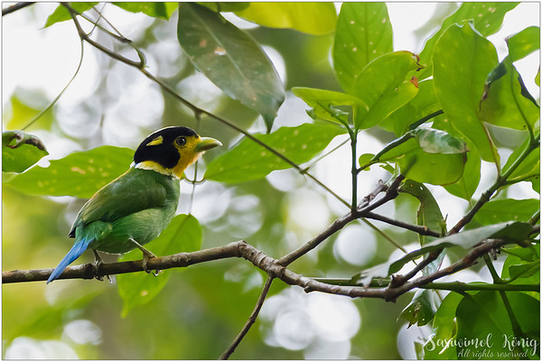 The innocent looking bird, Long Tailed Broadbill