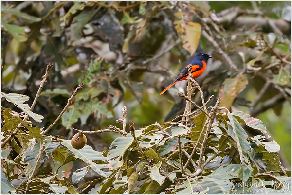 Grey Chinned Minivet got a good spot