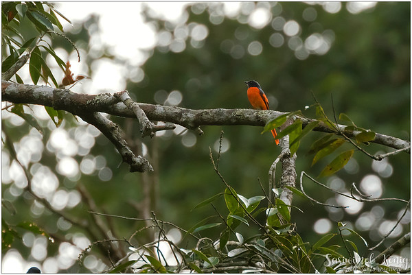 Grey Chinned Minivet, I have never had any luck with taking closeup photos of this bird, always stay so far far away