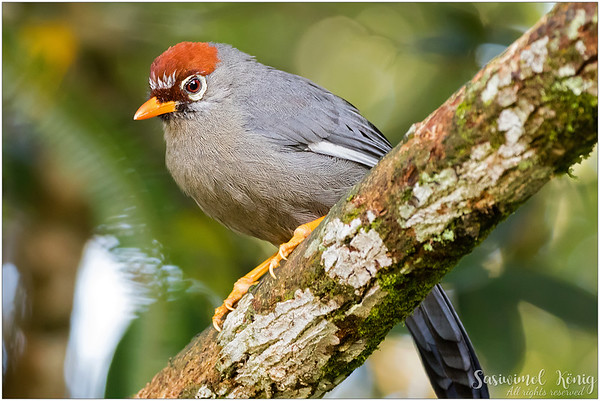 Chestnut Capped Laughingthrush,
