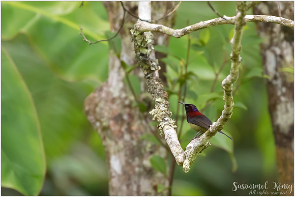 Black Throated Sunbird, love his maroon color