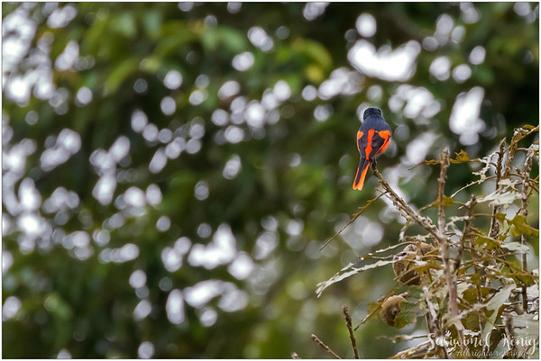 Grey Chinned Minivet - talk to my back