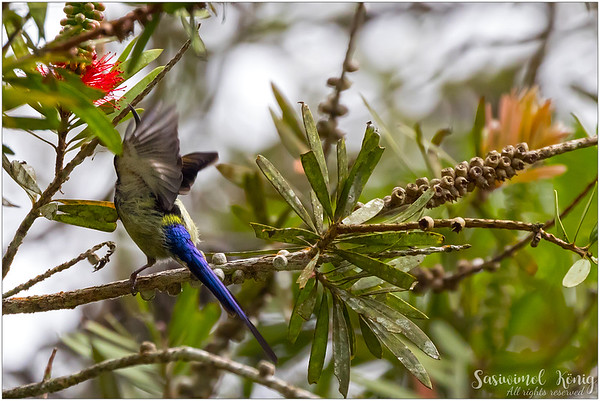 Black Throated Sunbird, flapping its wings and that makes the long bluish-purple tail more visible