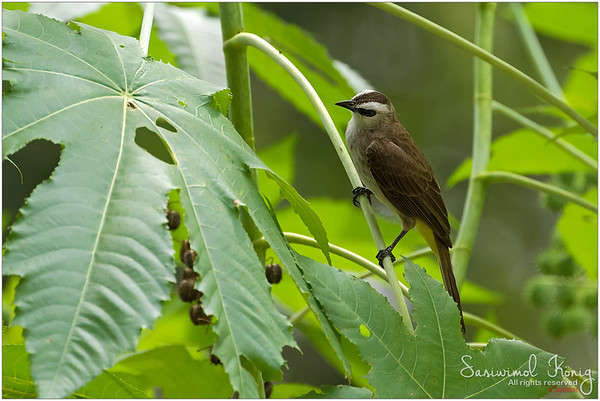 Yellow vented bulbul at Botanical Gardens, Singapore