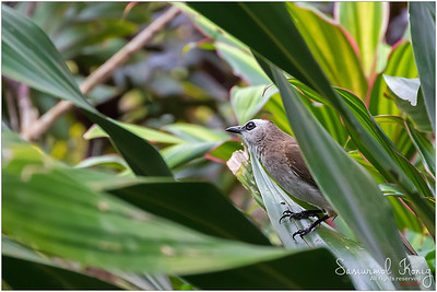 Yellow vented bulbul playing hide and seek at Botanical Gardens, Singapore. Who appears to be a better seeker this time? Yah!