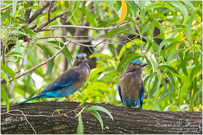 Indian Roller.. pretty in blue :)