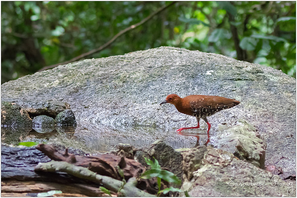 Blurred motion of a red-legged Crake. At least you can see red legs