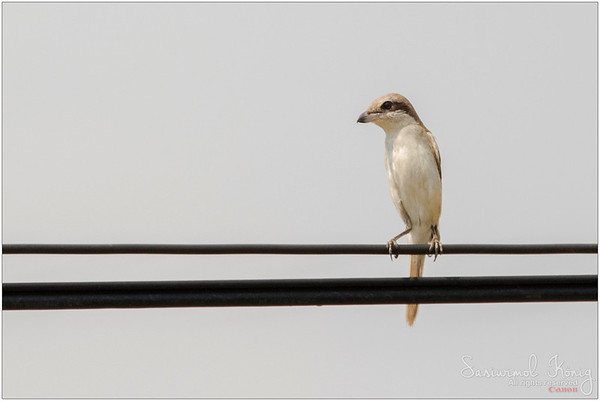Male Brown Shrike