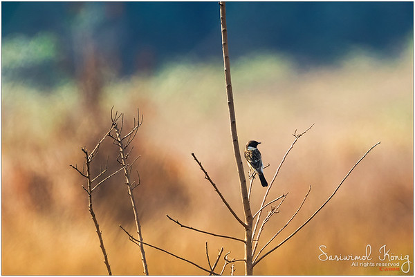 Siberian Stonechat.. such a sunbaker