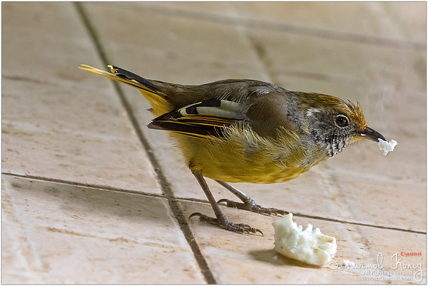 Chestnut-tailed Minla bird in yellow nibbling bread