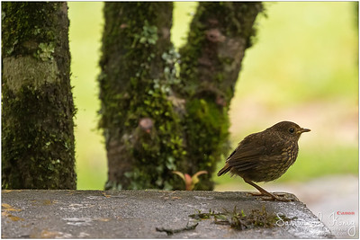 White-browed Shortwing (Female)