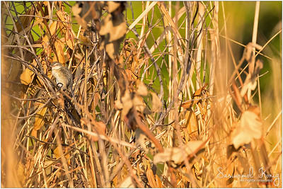 Plain Prinia.. I saw some tiny thing moved in that dried bush.. there! cute little one was jumping around