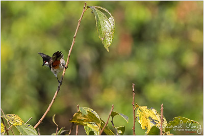 Red Whiskered Bulbul is making sure you know that it has colorful vent