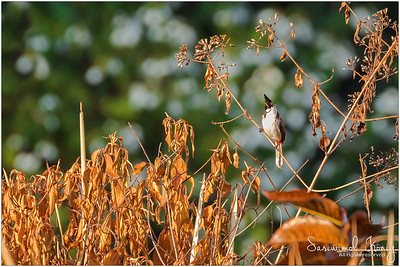 Red-whiskered Bulbul.. it might appear that it has Conjunctivitis but that's just a red patch under eye