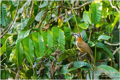 Lesser necklaced laughingthrush (long name, huh?!) with blackish necklace without sparkling diamonds